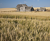Abandoned Farmhouse in Wheat Field,USA