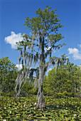 Swamp cypress in Okefenokee NWR
