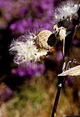 Milkweed pods and seeds