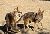 Coyote Aggression