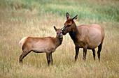 Elk cow grooming calf (Cervus elaphus)