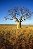 Boab Tree in Australia