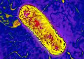 Listeria bacterium,TEM