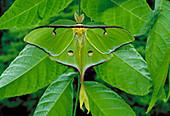 Luna moth male