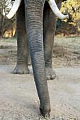Elephant Eating Acacia Pods