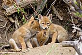 Wild Coyote pups
