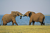 African elephant bulls sparring