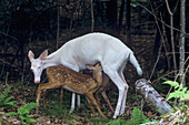Albino Deer nursing fawns