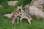 Wolf Pups and adult