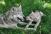 Wolf Pup with parent
