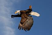 Bald Eagle flying upside-down