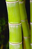 Running Bamboo (Phyllostachys vivax)