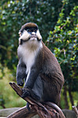 Red-tailed Monkey