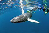 Humpback whale calf and Divers
