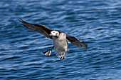Long-tailed Duck,Clangula hyemalis