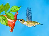 Ruby Throated Hummingbird Female