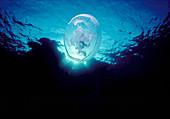 Moon Jellyfish,Red Sea