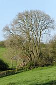 Large multi-stemmed ash tree