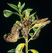 Azalea gall on Rhododendron