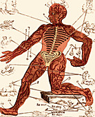 Vein Man,Medical Astrology,17th Century