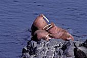 Walrus on the Rocks