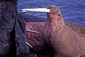 Walrus bull