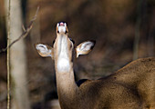 Whitetail Deer Smelling