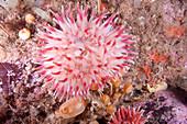 Northern Red Anemone,Gulf of Maine