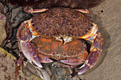 Mating Red Rock Crabs
