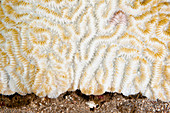Bleached Maze Coral