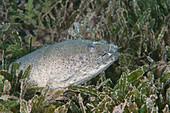Snapper eel