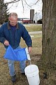 Worker Pouring Collected Maple Sap