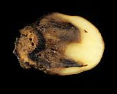 Watery wound rot (Pythium ultimum)