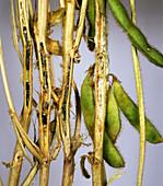 Stem rot (Sclerotinia sclerotiorum)