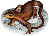 California Newt,Illustration