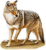 Coyote,Illustration