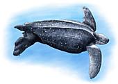 Leatherback Sea Turtle,Illustration