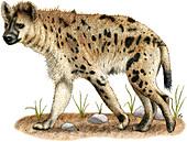 Spotted Hyena,Illustration