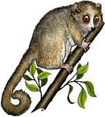Gray Mouse Lemur,Illustration