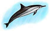 Spinner Dolphin,Illustration