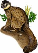 Common brown lemur,Illustration