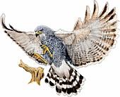 Gray hawk,Illustration