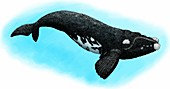 Southern right whale,Illustration