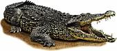 Cuban Crocodile,Illustration
