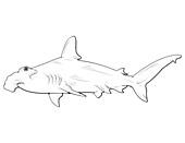 Scalloped Hammerhead,Illustration