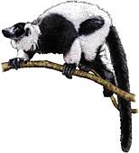 Ruffed Lemur,Illustration