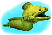 Giant Moray,Illustration