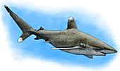 Oceanic Whitetip Shark,Illustration