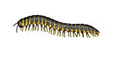 Millipede,Illustration