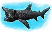 Basking Shark,Illustration